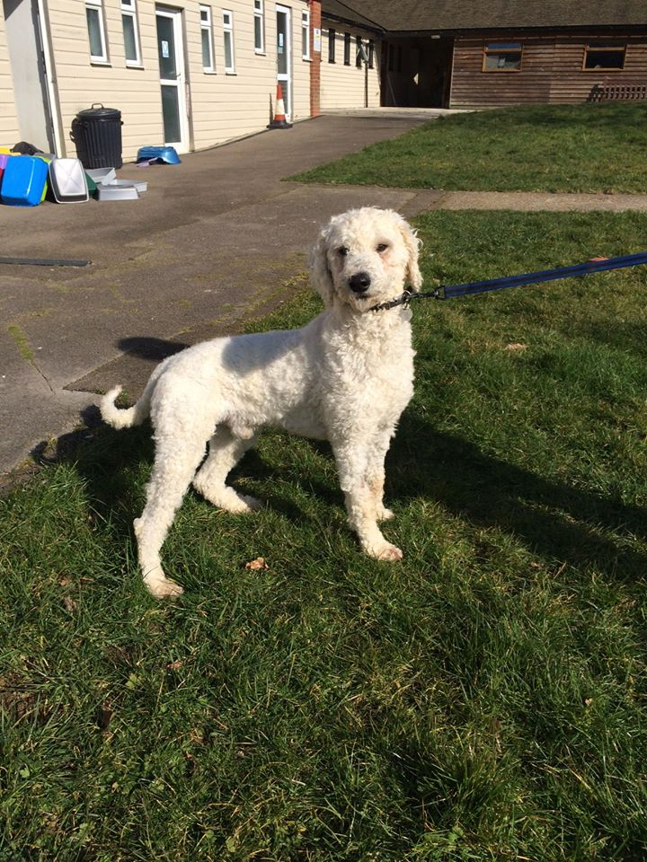 Homes Needed for Two of the Winchester Poodles