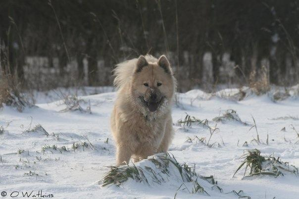 Xanthi the Eurasier Dog Lost in Andover