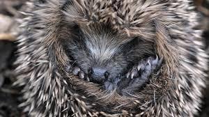 Romsey Home News | Hedgehog Awareness Week - Can You Be A Hedgehog Hero | Andover & Villages